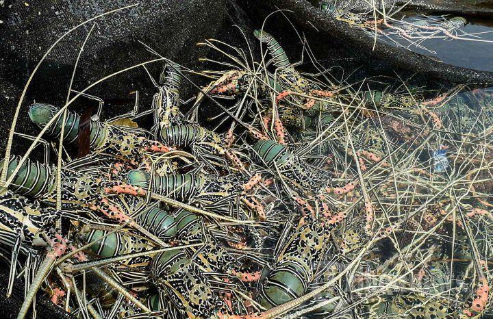 Budidaya Lobster Simeulue - Tribunnews.com