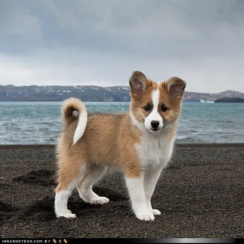 Icelandic Sheepdog puppy, one of the cutest breeds