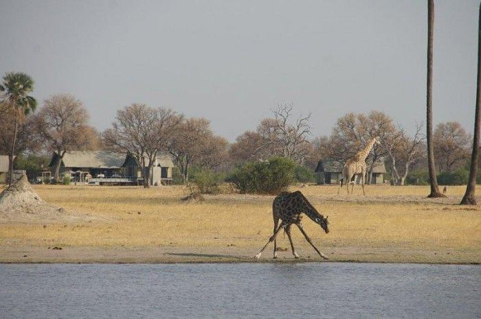 Giraffe at the waterhole in front of camp