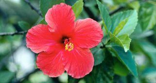 Hibisco, planta medicinal