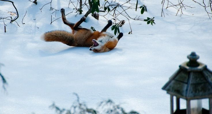 A fox playing in the snow