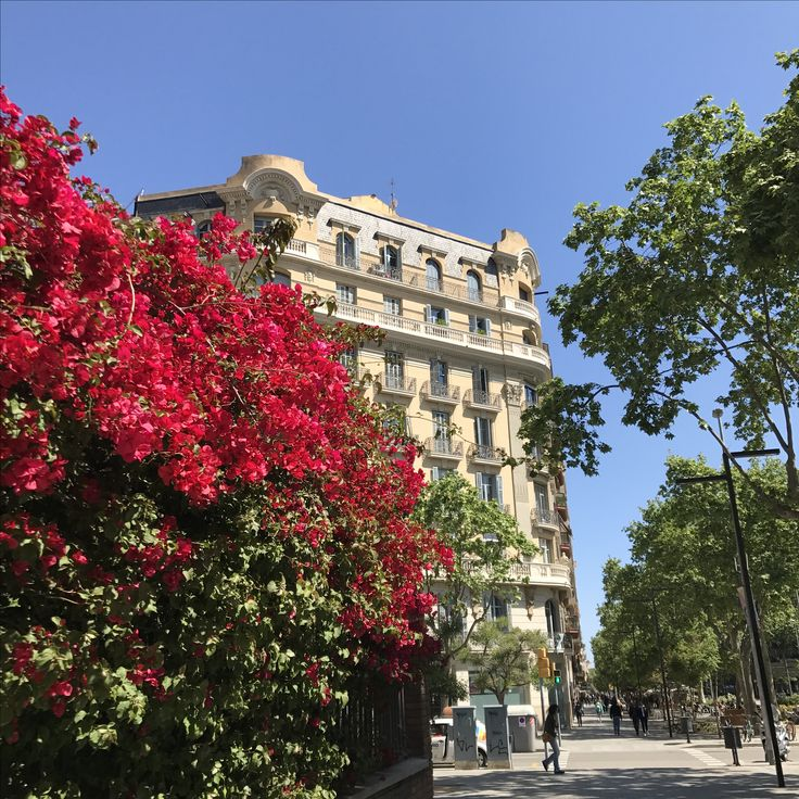 Bougainvillea, streets of Barcelona, Spain 🇪🇸  @_shutterbug_bec_