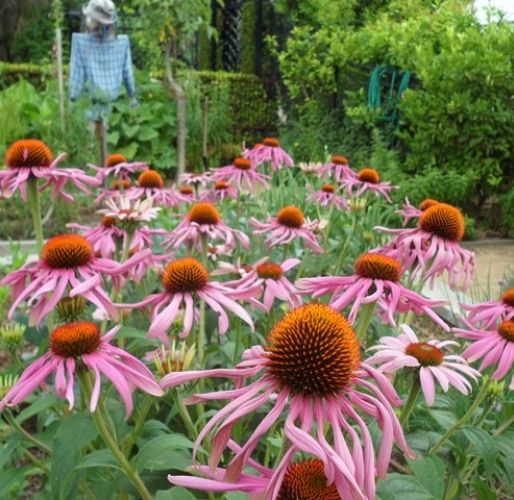 Patch of Echinacea in Kitchen Garden