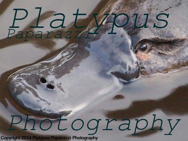 www.platypuspaparazzi.com