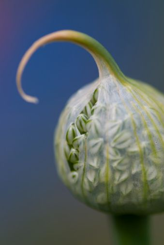 Side view of emerging Ornamental Onion flower (Allium)