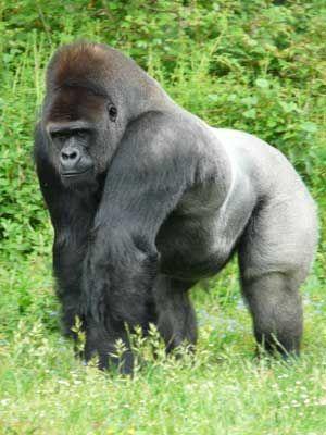 Google Image Result for http://www.gorillas-world.com/images/2_gorilla_300.jpg