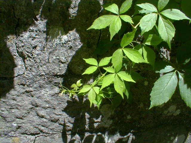 how to get rid of virginia creeper organically