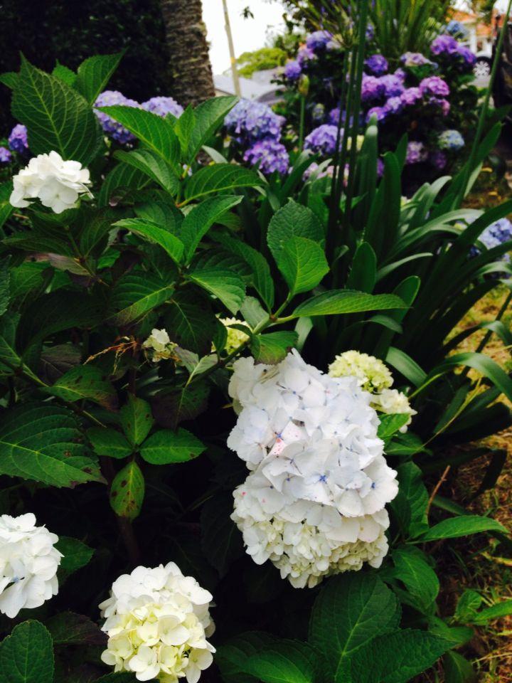 White hydrangeas from the Florentina Home garden