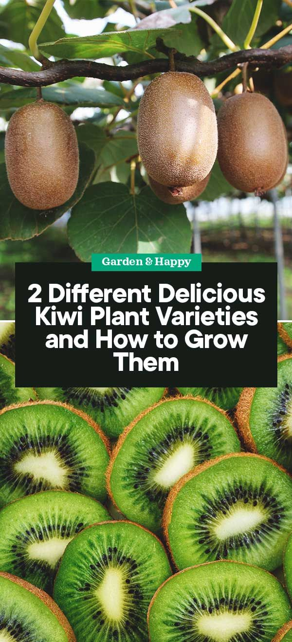 2 Different Delicious Kiwi Plant Varieties And How To Grow Them Garden And Happy Fruit Tree Garden Kiwi Kiwi Vine