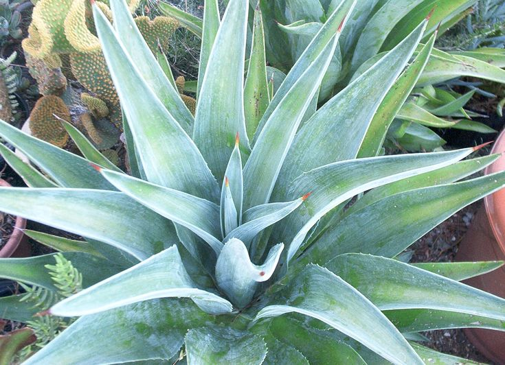 A study of the agave plant