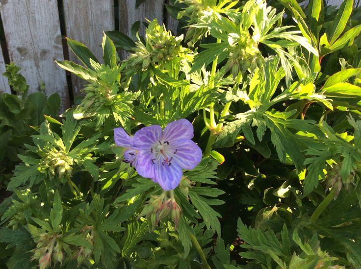 En fin lille sag (Geranium)