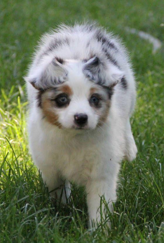 25 best ideas about aussie puppies for sale on pinterest