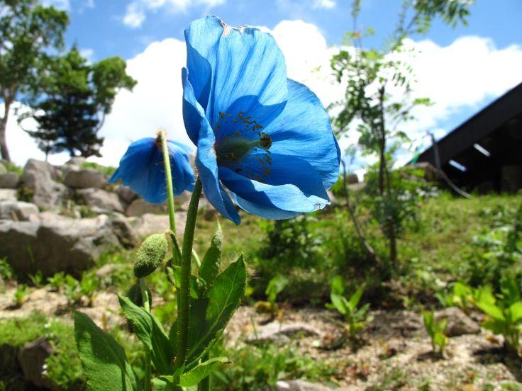 ヒマラヤの青いケシ  長野県北志賀竜王スキーパークは、上信越道信州中野ICから16km。標高1,770mのSORAterraceからは雲海や夕日が見れます。春は山野草ヒマラヤの青いケシ、夏は星空観察、秋は紅葉、冬はスキーと自然に恵まれた環境です。近隣には温泉、スノーモンキーで有名な渋温泉、湯田中温泉がありアクセスも便利。