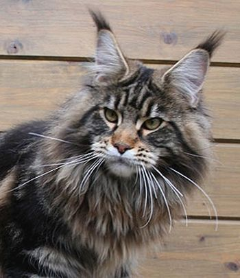 Maine Coon Cat ~ That face! Those ear tufts! What's not to love?  ♥