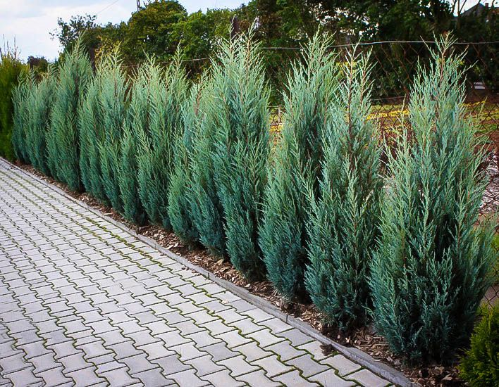 Buy Moonglow Juniper Online. Arrive Alive Guarantee. Free Shipping On All Orders Over $99. Immediate Delivery.