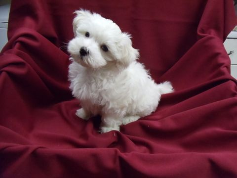 Maltese puppy for sale in WINSTON SALEM, NC  ADN-39833 on