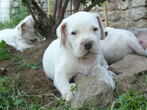 Chiot male dogue argentin