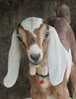 Milk House nubian Goats in Kamloops