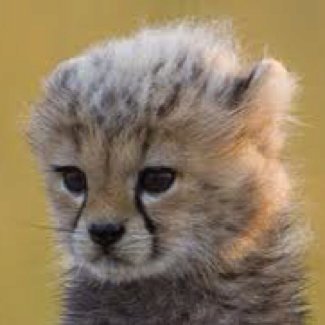 Big Cats Cute Baby