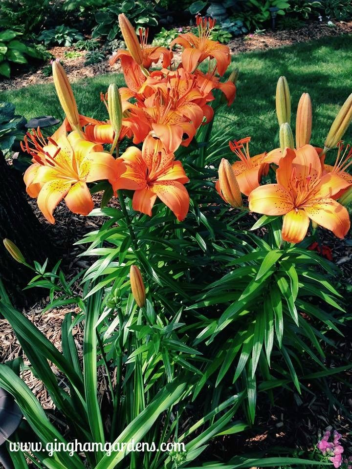 How To Grow And Maintain Lilies Growing Lilies Lily Garden