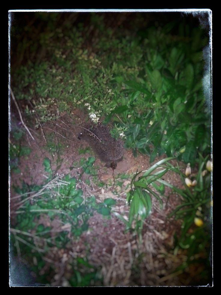 Nachtschwärmer halt ... Fressen steht bereit #igel #hedgehog #natur #nachtschwärmer