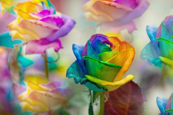 Dreams Of Rainbow Rose by Jenny Rainbow