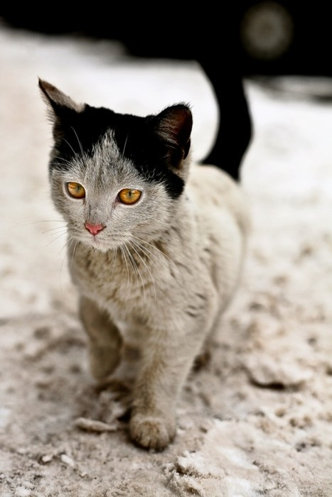You may adore my gray and black unusual beauty. ~ Unusually marked kitten.