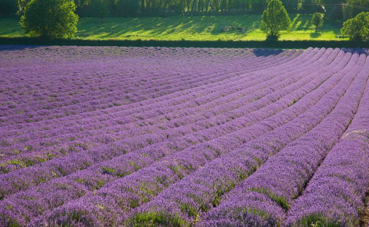 https://flic.kr/p/WmQCN7 | Lavender Farm (shoreham) | www.adamswaine.co.uk The Darent Valley Path Lavender plants are ready for sale from the shop from early May but the lavender season really gets underway in mid-June and the glorious scent and vibrant colour of the fields fill the valley until early August