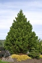 Sequoiadendron giganteum ' Greenpeace ' Giant Redwood
