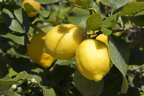 Így neveljünk otthon citromfát magról