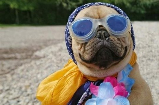 Summer pug... I'm ready for my beach weekend already!