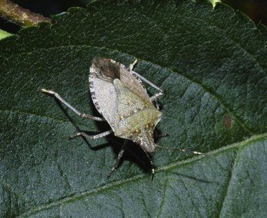 how to build a stink bug trap