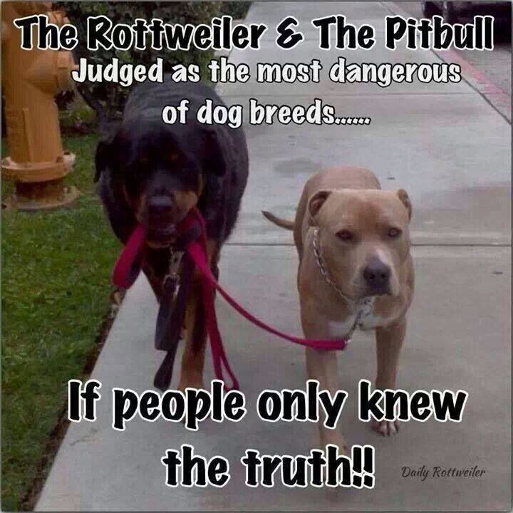 "Any animal can be mean if they are not loved. But remember the years of breeding that made them into guard & fighting dogs. Also, remember the strength in a ""pittie's"" jaws. It'll take a while to breed that out!"