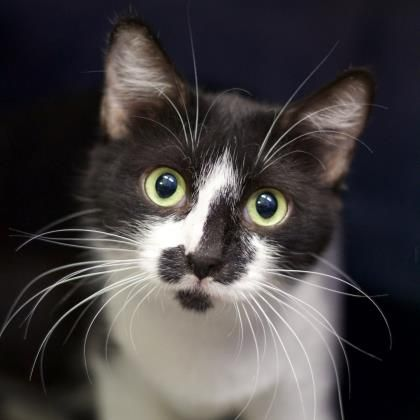 Meet Crystal, a Domestic Shorthair available for adoption from Austin Pets Alive!