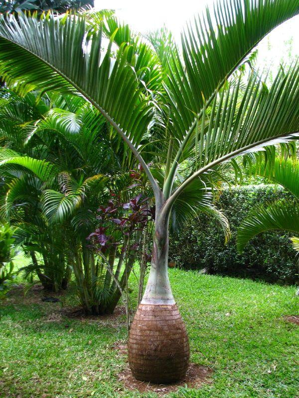 L'île Maurice > palmier bouteille