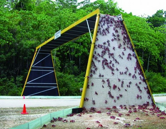 Unusual overpass for crabs: Red crabs climb over an overpass to cross a road on Christmas Island during their migration. (Christmas Island National Park, Australia) I love this. It's our responsibility to create navigable passageways for animals when we create hazardous, impenetrable barriers in their natural migration paths.