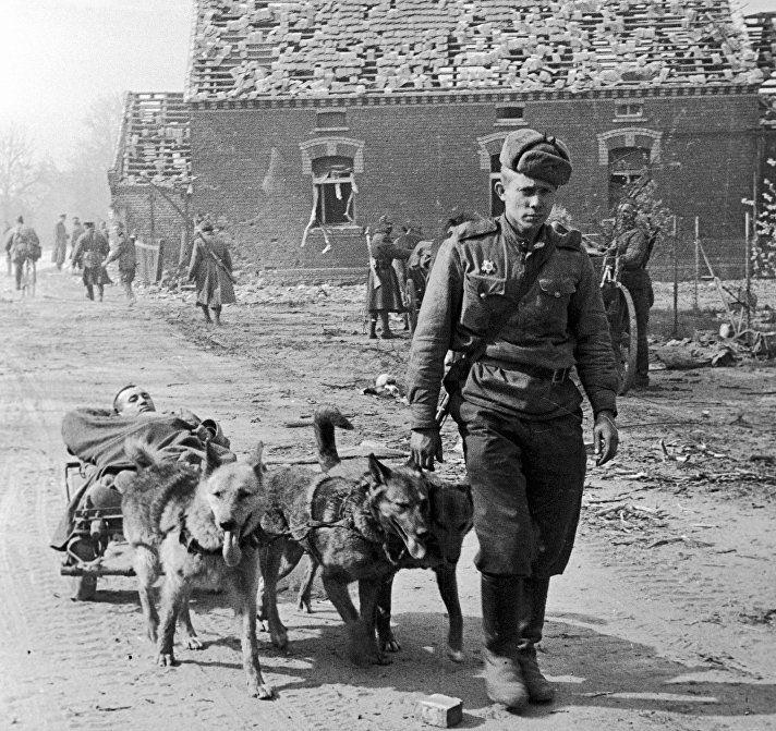 Собачья упряжка везет раненого бойца в госпиталь, рядом идет красноармеец. 1-й Украинский фронт. Июнь 1944 года
