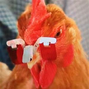 Rose Colored Sunglasses For Chickens To Wear Invented In