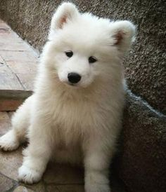 The sweetest Samoyed puppies for sale in Texas, more http://samoyedpuppies.net/samoyed-puppies-for-sale-in-texas/