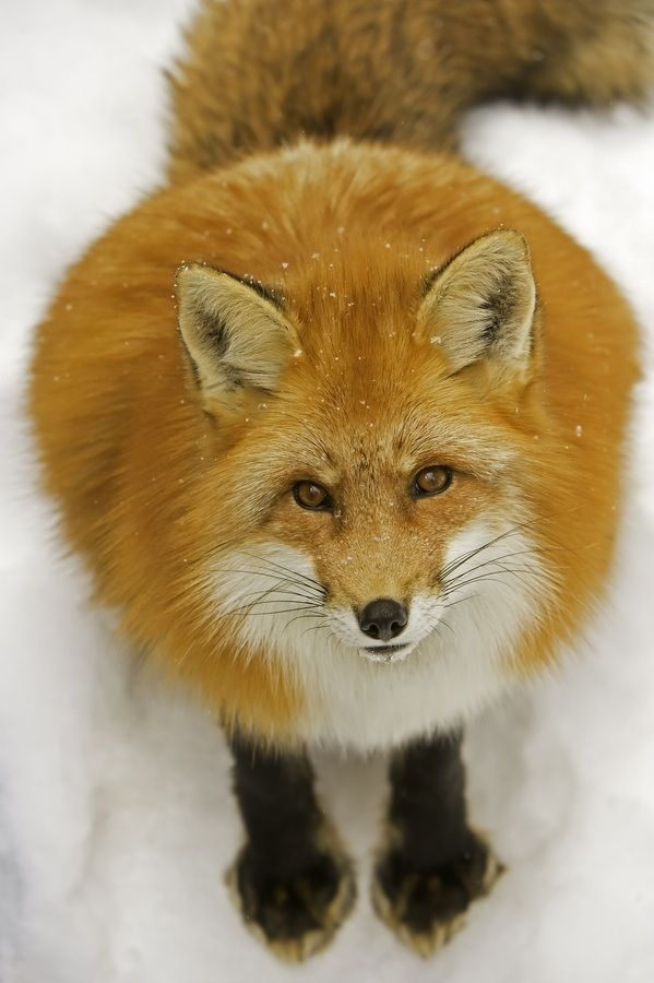 Fat Foxes 40