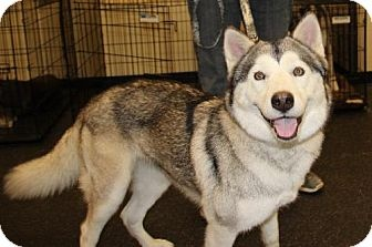"""""""I'm in Vallejo, CA., and I need a home!!!!"""" this site is an adoption site for Samoyeds, huskies, malamutes, and other northern breed dogs who've been abused and/or abandoned in California. Serving 13 counties. Adopt a pet."""