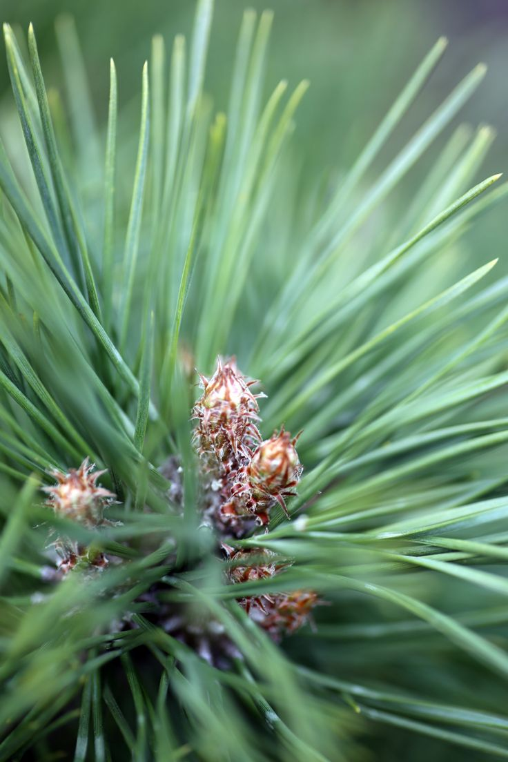 "Pinus nigra ""Brepo"", or the dwarf Austrian pine is a beautiful, tight, rounded evergreen with an upright habit. It is sometimes trimmed into topiary shapes. It  is slow growing with long needles and is a wonderful accent plant for borders or framing walkways. It makes an impressive green focal point in the winter months. (While we keep a fantastic range of plants in stock 12 months of the year, we would advice giving us a ring if you are looking for a specific plant, call us now on 01924…"