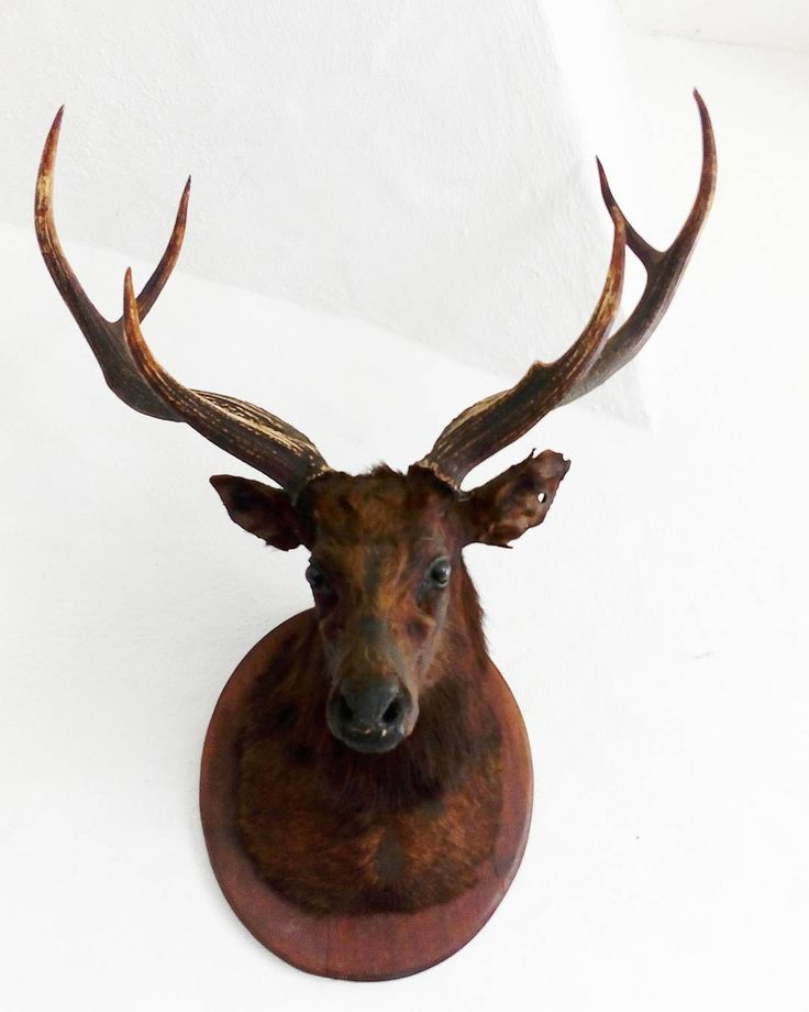 Hello deer! . . . . . . . #antlers #castlesofireland #deer #castle #deerhead #decor #antiques #interiorstyle #stag #adventures #sundayfunday #interiors #antique #whitewash #vintagelife #daytrip #craggaunowen #castledecor #oldireland #Clare #coclare #exploreireland #ireland