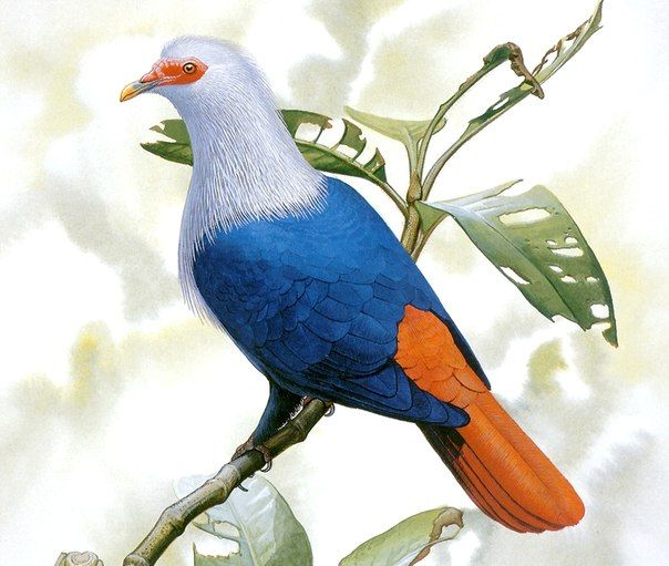 Маврикийский синий голубь (Alectroenas nitidissima), о. Маврикий (Маскаренские о-ва). Исчез к 1830-м гг. из-за неумеренной охоты и сведения лесов.