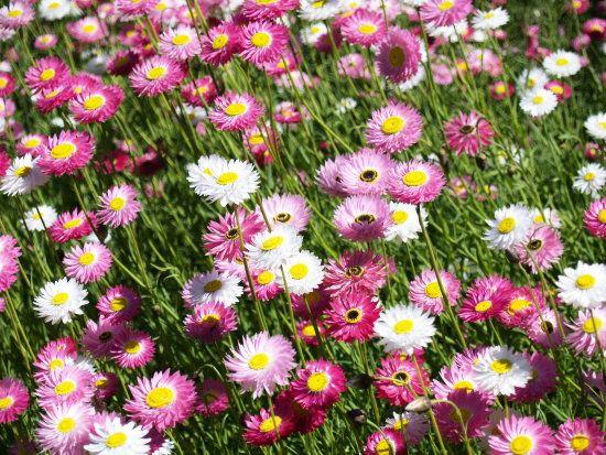 21 best flowers images on pinterest beautiful flowers exotic everlasting flowers google search mightylinksfo