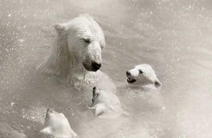 isbjørn, baby isbjørn, bjørn, vann, dyr, Carnivora, monokrom bakgrunnsbilder