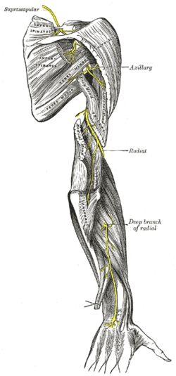 Axillary nerve of thr posterior cord