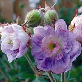 Géranium vivace 'summer skies'                                                                                                                                                                                 Plus