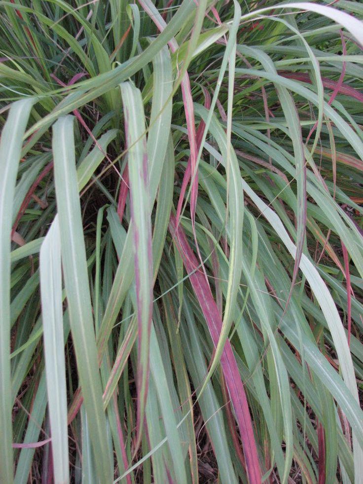 how to grow lemongrass outside