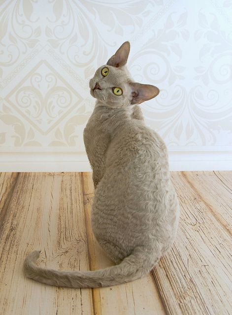 Devon Rex | Flickr - Photo Sharing!